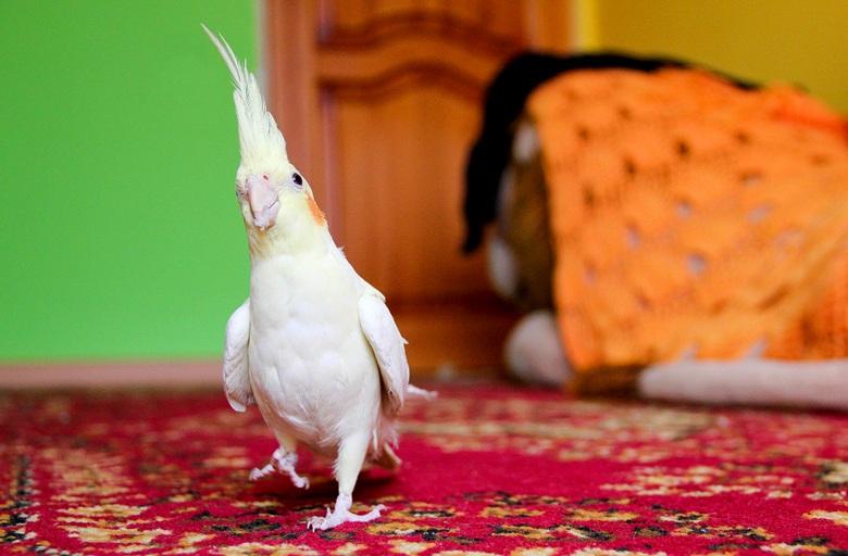 как определить пол попугая корелла