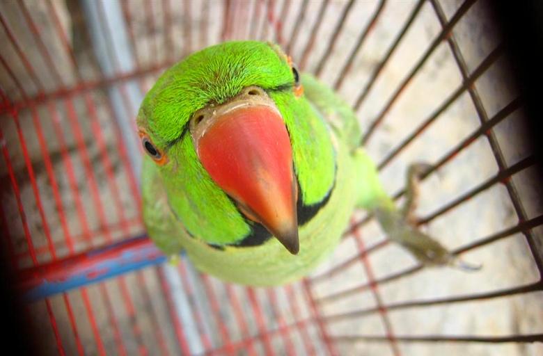 Звук Для Волнистого Попугая