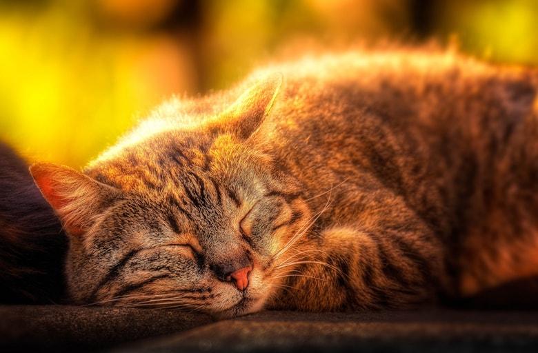 К чему может сниться кот